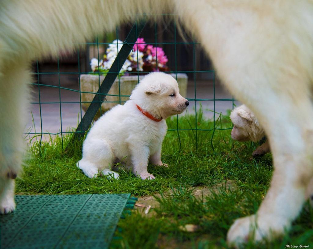 set fotografico cuccioli pastore svizzero