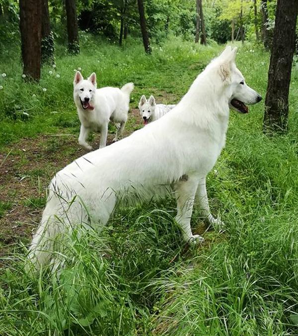 chanel pastore svizzero bianco cuccioli youky's gift lastre 02