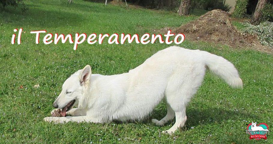 temperamento doti caratteriali pastore svizzero bianco cuccioli youky's gift