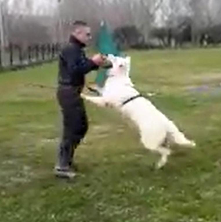 addestramento pastore svizzero