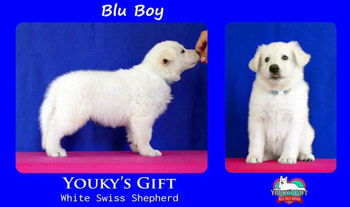blu boy cucciolata H cuccioli 6 settimane