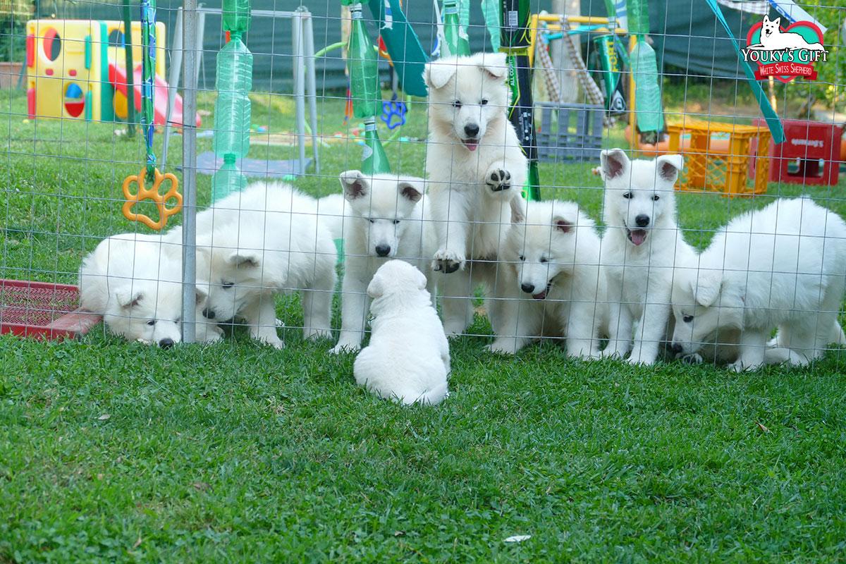 prima uscita cuccioli cucciolata H pastore svizzero