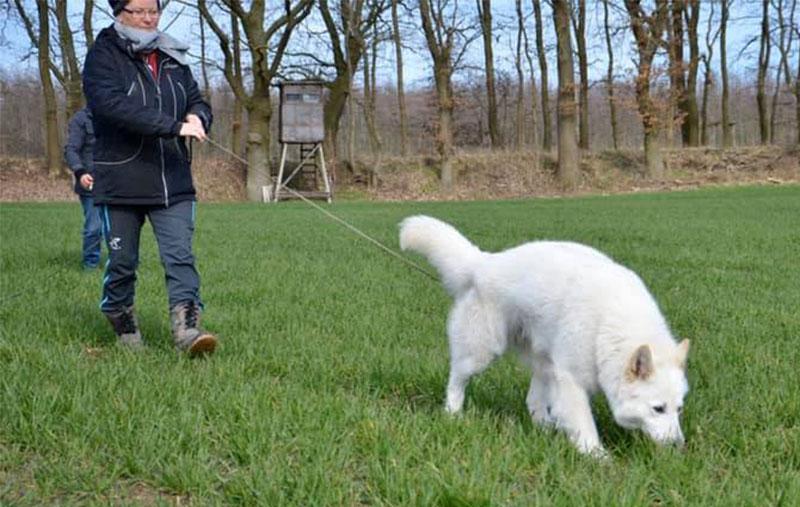 king abas vom weissen birkenstolz pista 2 cuccioli allevamento pastore svizzero Youky's Gift
