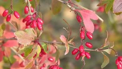 Photo of Berberys pospolity (Berberis vulgaris)