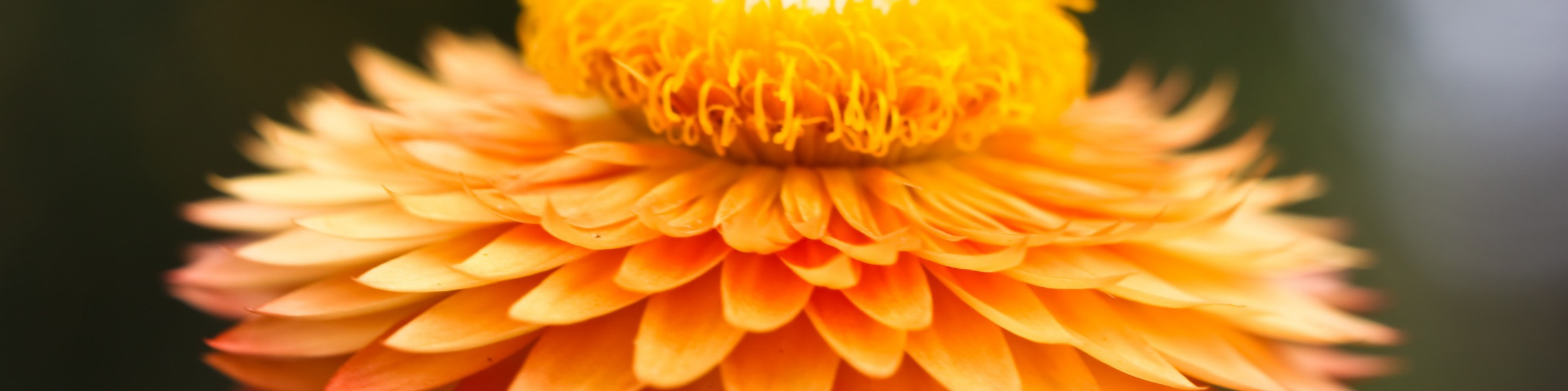 cropped-orange-daisy-e1436500808546.jpg