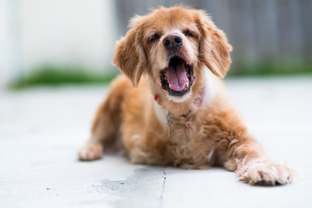 zoey cocker spaniel national pet month younfolded blog