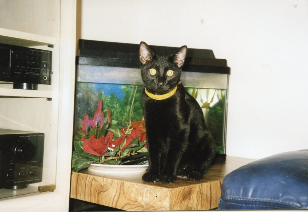 black cat named Salem sitting in front of a fish tank pet series younfolded bog
