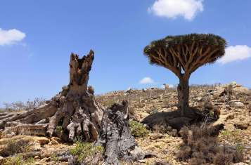 A dragonblood tree in Socotra