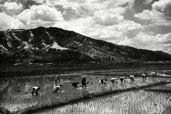 photo of korea before the war: Rice-planting