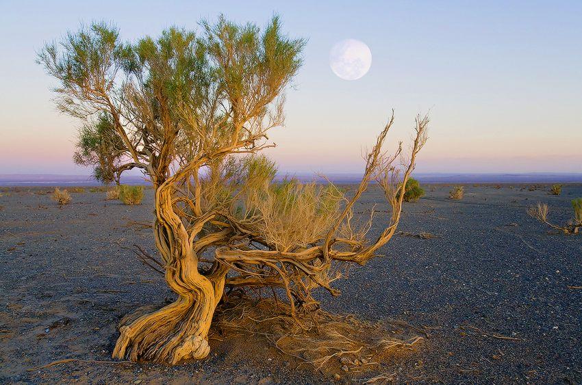 Saxaul tree in the Gobi desert