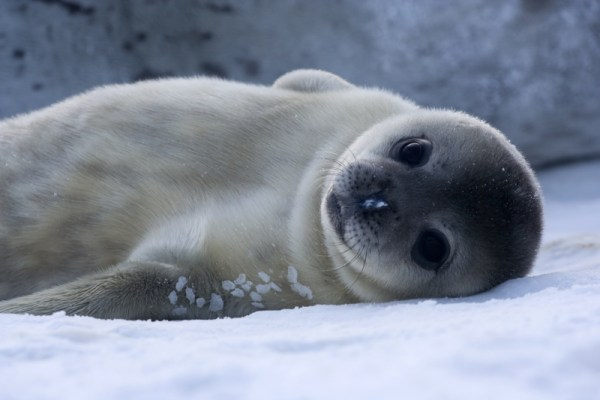 A baby wendell seal, as seen in Antarctica