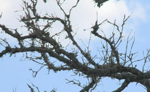 Oak tree_1535996829852.PNG.jpg