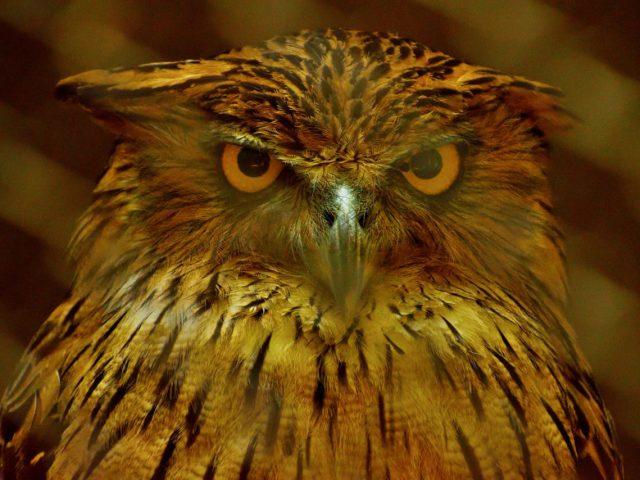 Classic Fiction - golden owl