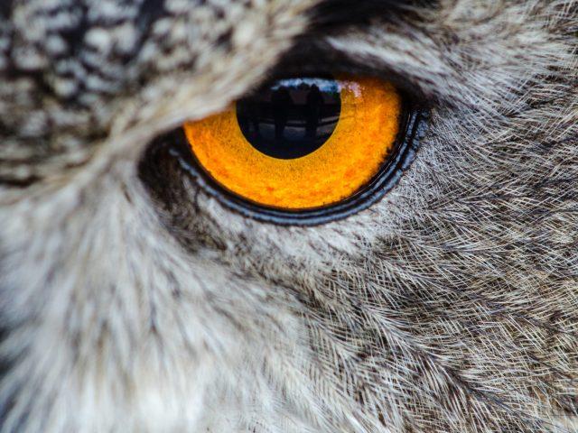 Mystery - closeup of a golden owl eye