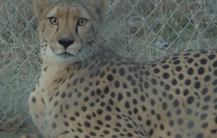 Cheetah evacuated from path of Lilac Fire in Bonsall