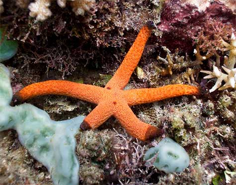 orange-finger-starfish