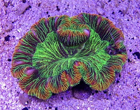 Trachyphyllia Coral