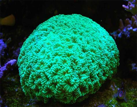 Trumpet Coral