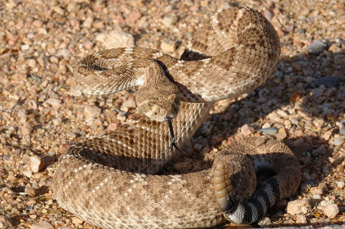 Venomous Snakes Your Hike Guide