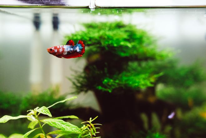 betta fish as pets