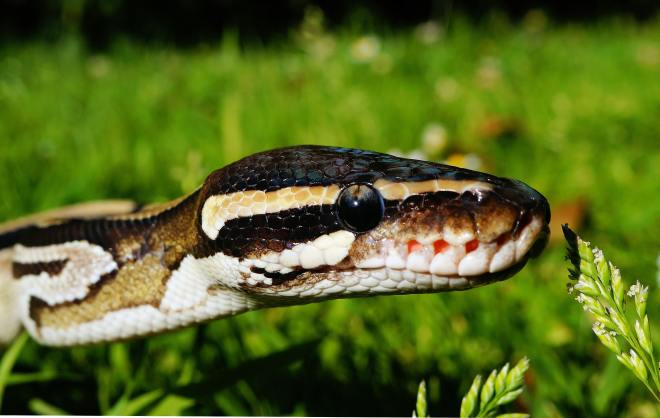 Best Snake Breeds For Beginners