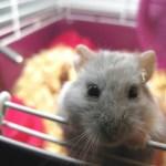 best dwarf hamster food