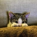 cat heartworm
