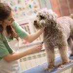 pet grooming with scissors