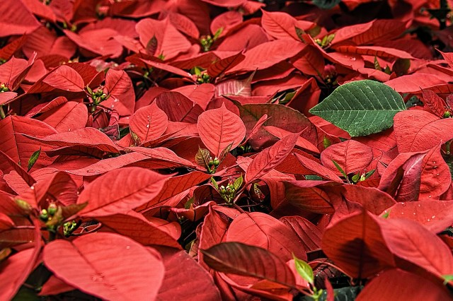 christmas flower poinsettia grown hawaii