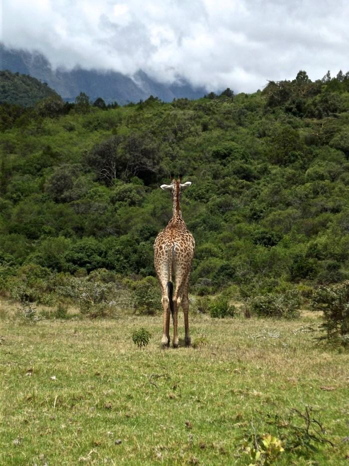giraffe arusha