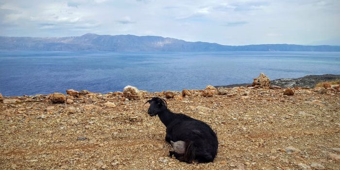 Goats at Balos Lagoon