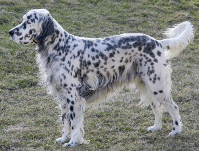 English Setters What S Good About Em What S Bad About Em