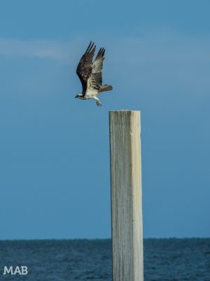 Sea Hawk Takes Flight