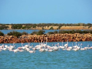 Mar Menor Flamingo