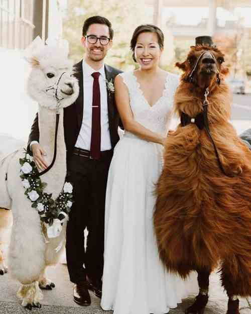 llama at wedding