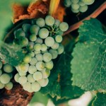 Devotion: Jesus is the Vine