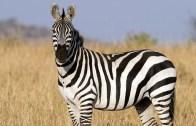 Yavruyu Yemeye Çalışan Zebra