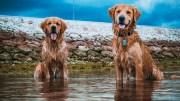 Golden Retrievers Sürüsüyle Yüzmek
