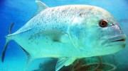 Ay Balığının Muhteşem Avcılık Yetenekleri