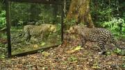 Kendini Aynada Gören Vahşi Hayvanların Tepkisi