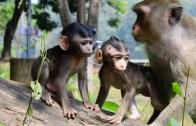 Annelerinden Ayrılmayan Sevimli Maymunlar