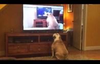 Film İzlediği Videoyu İzleyen Bulldog Şaşkınlığı