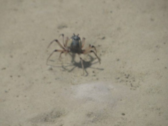 Australie- Whitsunday: Crabe bleu en gros plan.