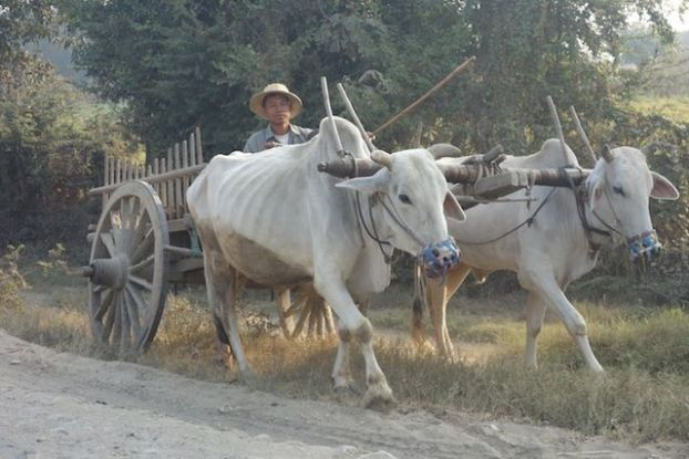 Des boeufs sont entrain de travailler dans des champs dans la campagne de Monywa en birmanie ou myanmar photo blog voyage tour du monde http://yoytourdumonde.fr