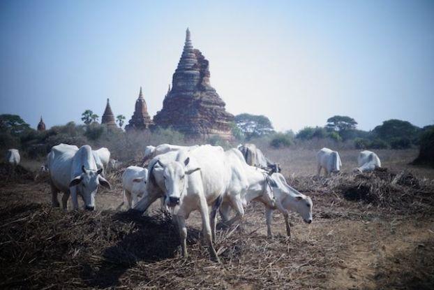Entre animaux, temple, stupa et pagode les touristes sont completement libre sur le site de Bagan un plaisir pour les yeux et pour l'esprit photo voyage tour du monde http://yoytourdumonde.fr