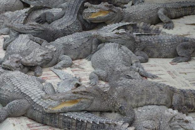Apres l'Autralie je me retrouve devant des crocodiles mais cette fois ci du cote du cambodge photo blog http://yoytourdumonde.fr