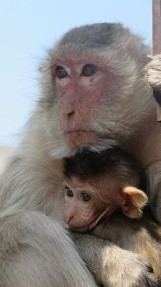 bebe-singe-thailande-Lopburi