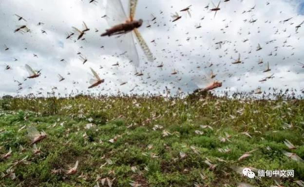 Have to guard! The locusts that have numbed the scalp of hundreds of millions of people around the world have entered our neighboring country, Myanmar