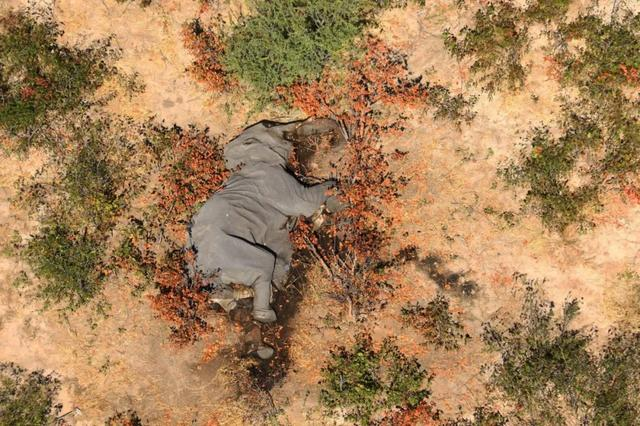 Almost 400 elephants in southern Africa died bizarrely! Listlessness, turning around in place, the reason is a mystery