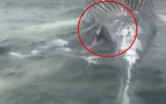 Lifeguards photographed great white sharks devouring five-meter-long whales